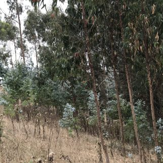 Eucalyptus spreading