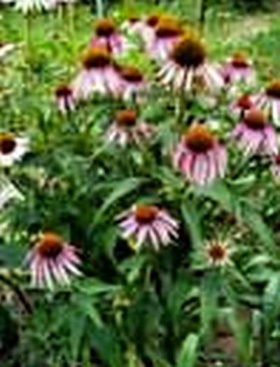 Uriel Pharmacy Free Uriel's Aurum Lavender Rose Cream and Catalog - US