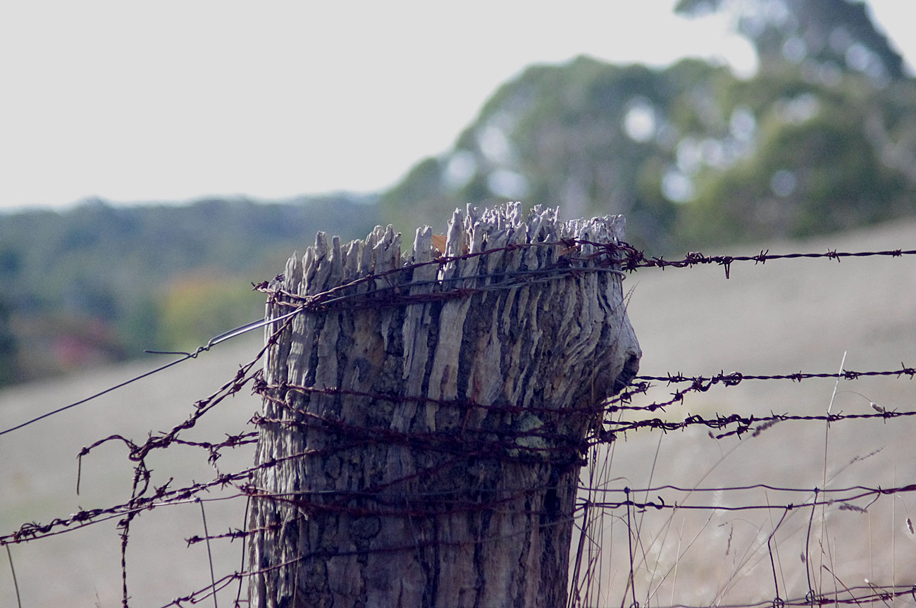 Venerable fence post. © Lofty.