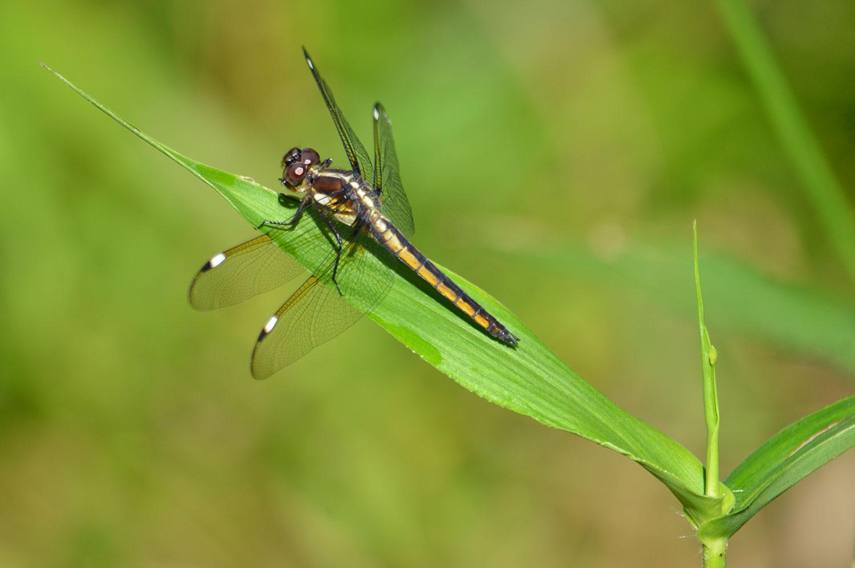 Female-Spangled-Skimmer