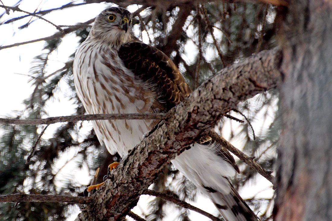 Hawk2