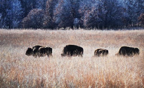 Bison on the Bluestem Ranch.