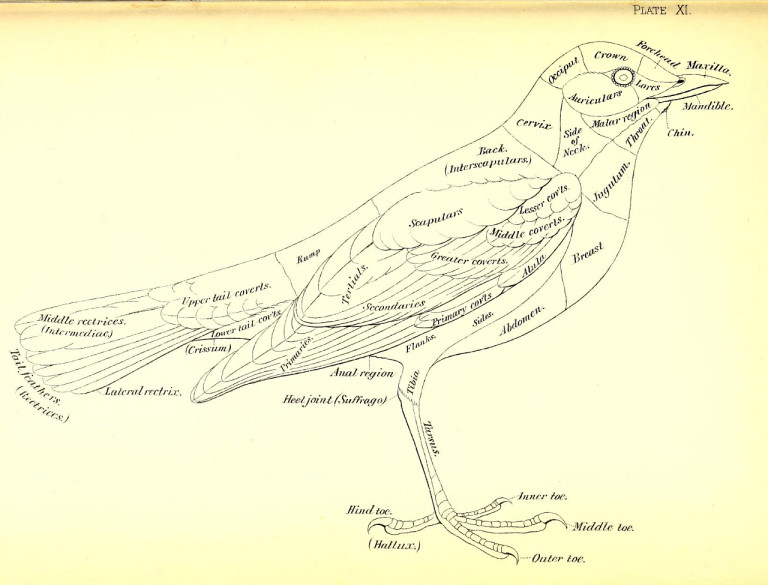 Bird diagram from Robert Ridgway's 'A nomenclature of colors for naturalists : and compendium of useful knowledge for ornithologists' (1886) (via Smithsonian Libraries).