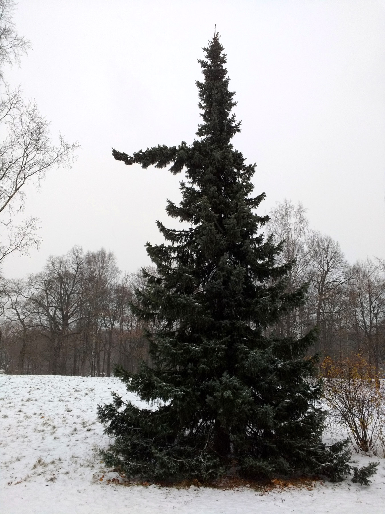 pointingspruce