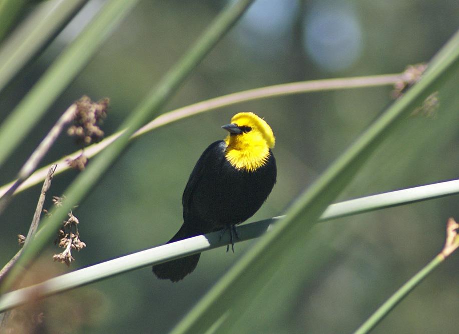 Y_H-Blackbird1a