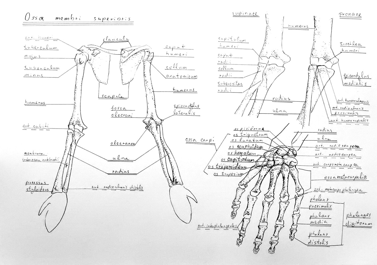 Anatomy Atlas Part 3 – Upper Limb Skeleton