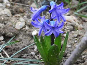 A blue flower for which I am too lazy to search the name of.