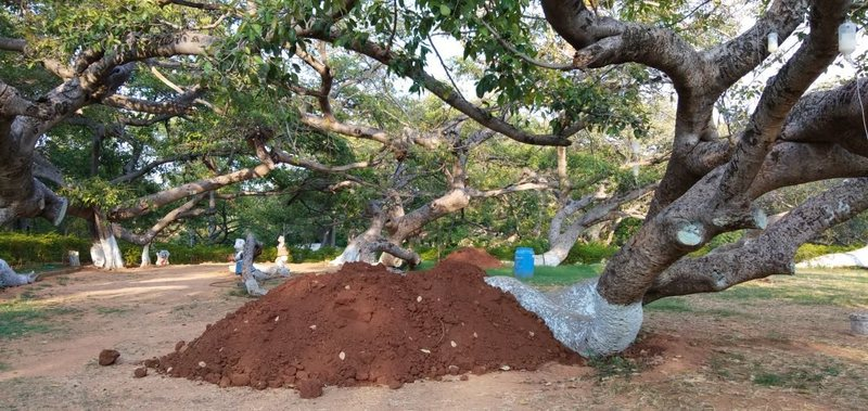 Pillalamarri's branches bend close to the soil. Courtesy of District Administration, Mahabubnagar.