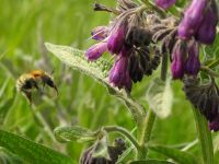 Comfrey and bumblebee.