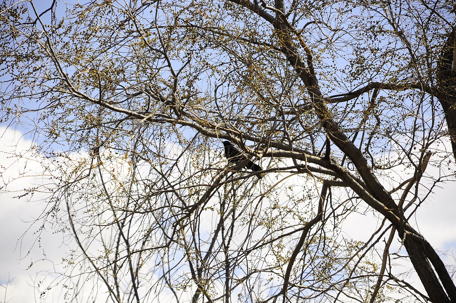 Grackle in a tree.