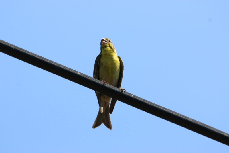 A yellow bird sitting on a wire