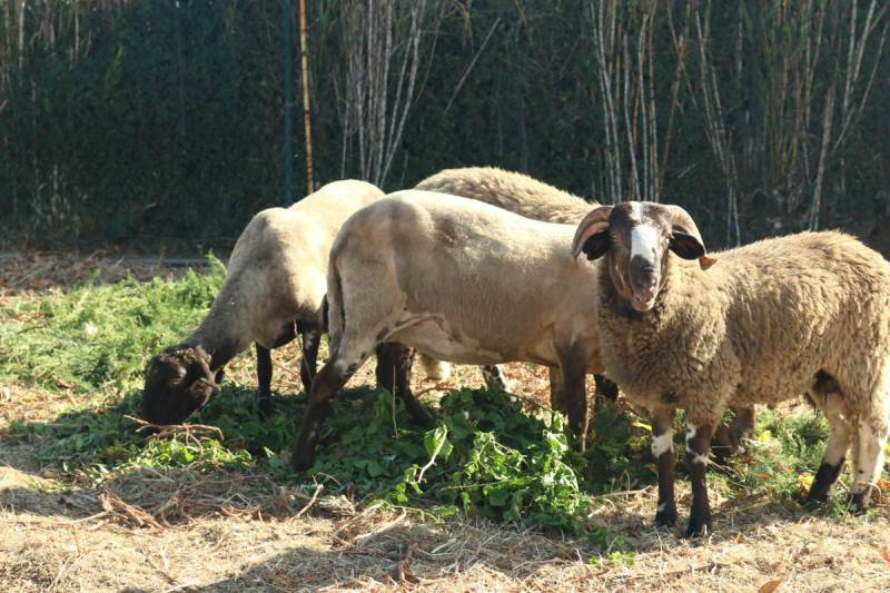 Couple of sheep with a ram in the forground