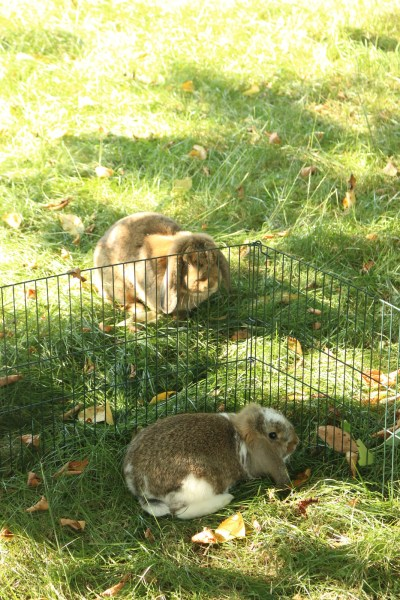 Brown and brown and white rabbit, separated through a fence