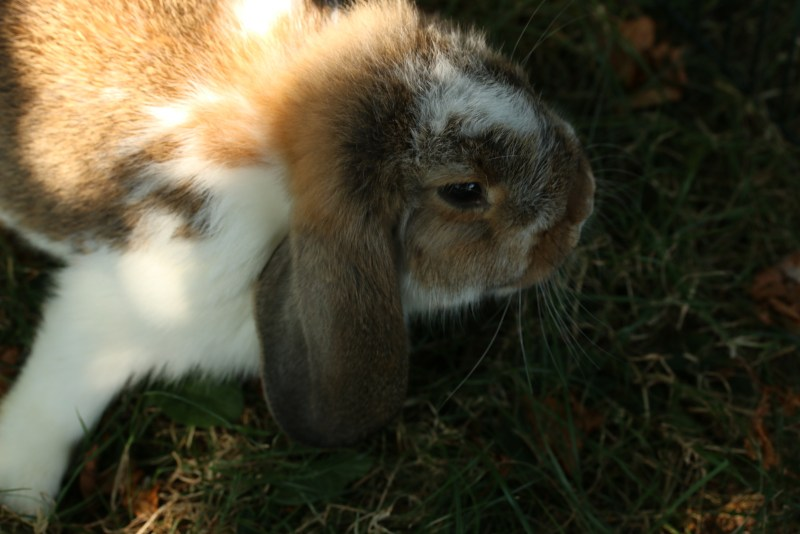 Face of brown and white bunny