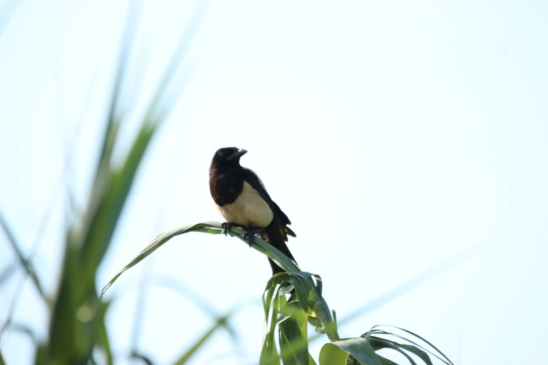 Magpie sitting on reed