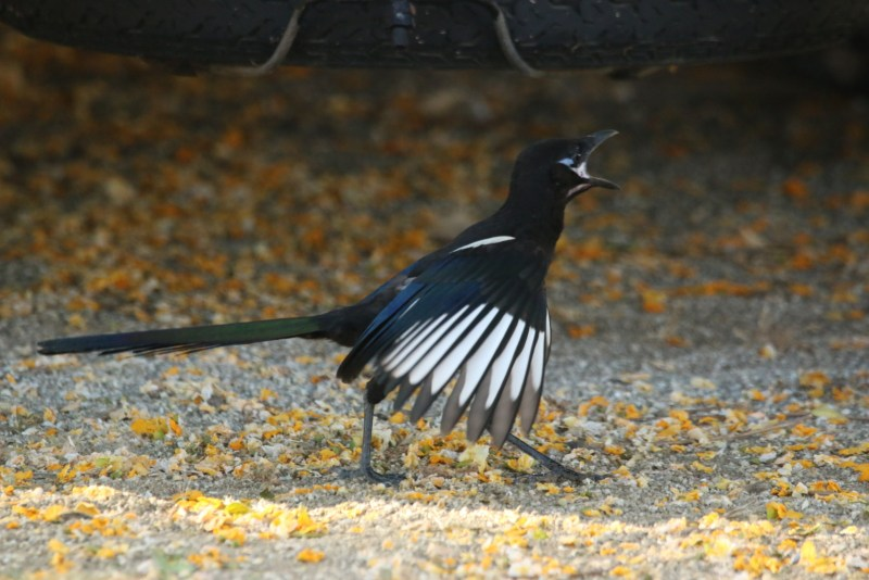 Young magpie with open beak