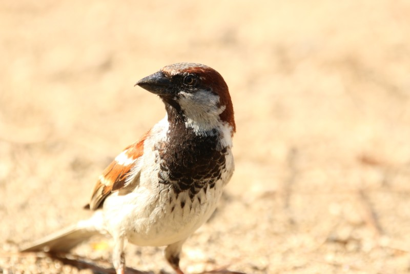 Male sparrow in the sun.