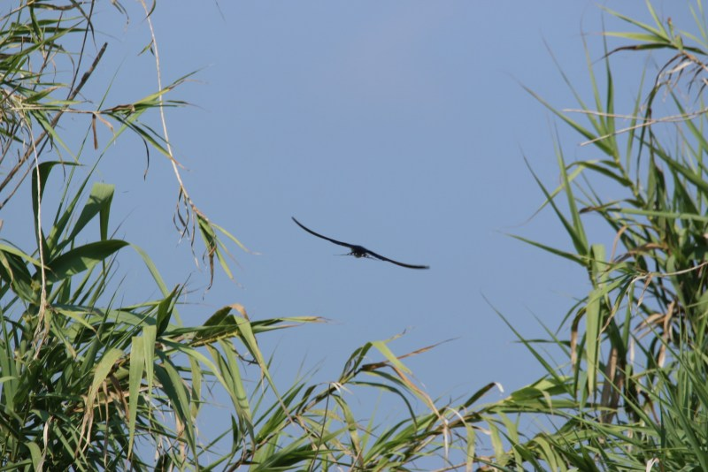 Swallow framed by reeds