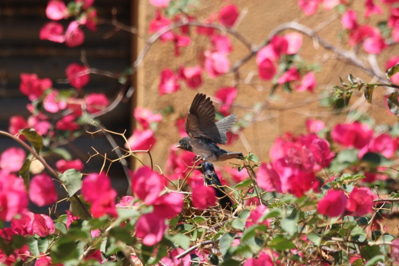 A young bird with its wings streched out sitting between pink flowers.