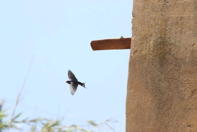 A swallow in front of a blue sky, a building to the left.