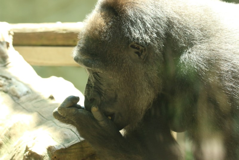 Gorilla, eating