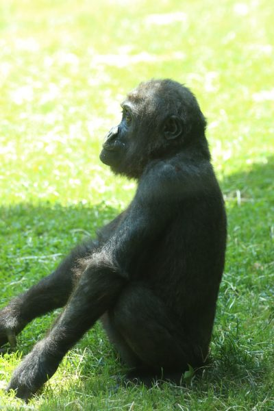 Young gorilla sitting