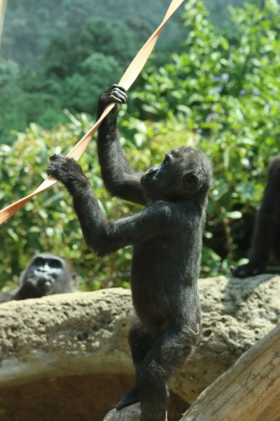 Young gorilla climbing a rope