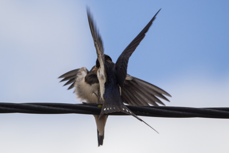 Adult swallow feeding youngster