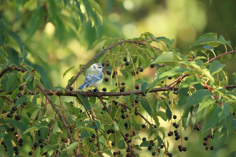 blue tit among bird cherries