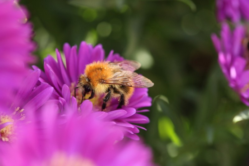 Bumblebee on purple aster
