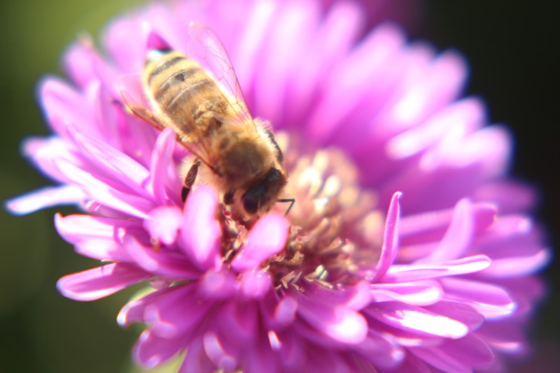Bee on purple aster