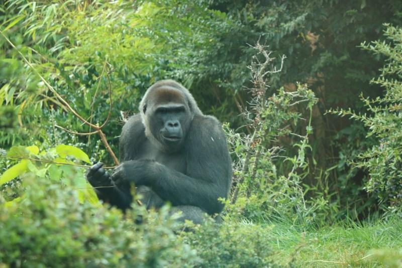 Gorilla, eating