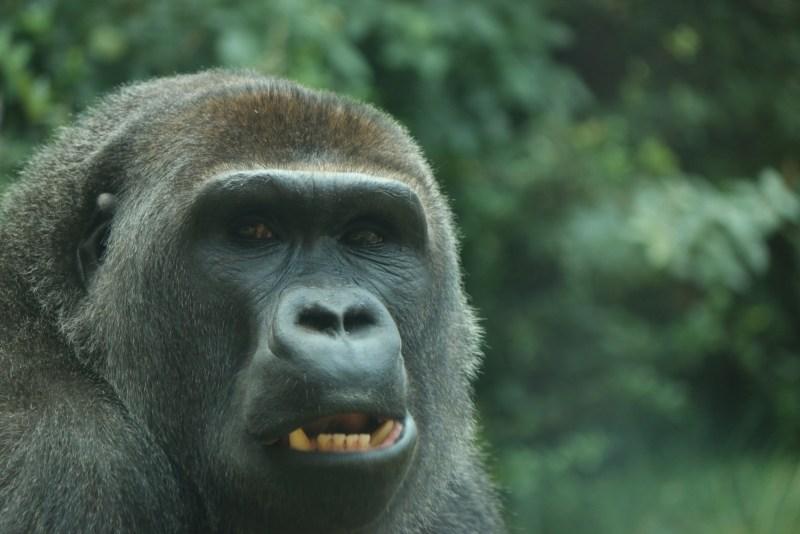 Gorilla, close up