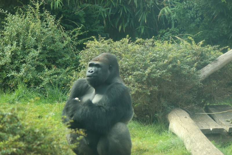 Gorilla waiting for food