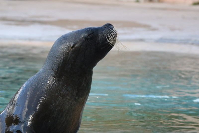 Head and neck of sealion
