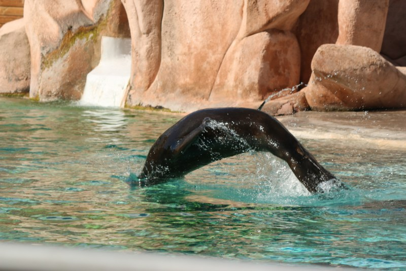 © Giliell, all rights reserved Sealion, jumping