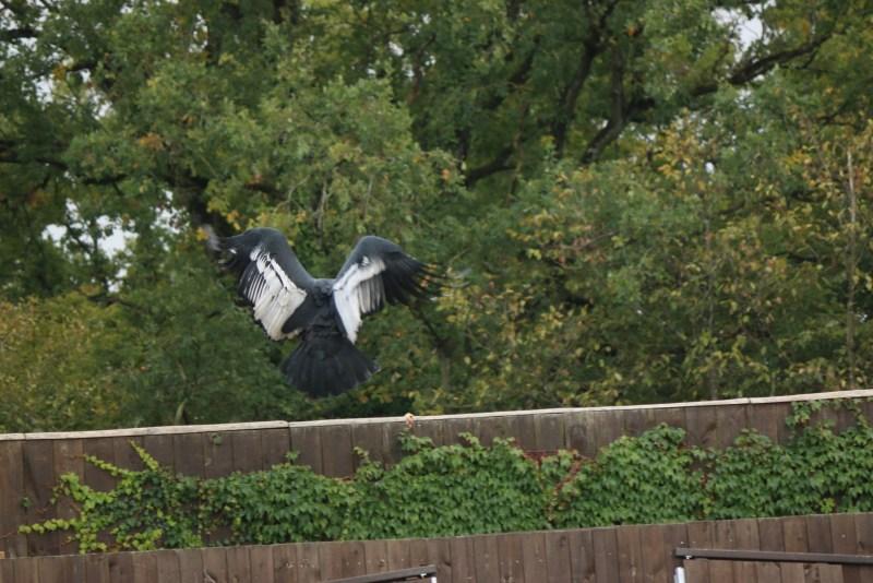 Condor landing