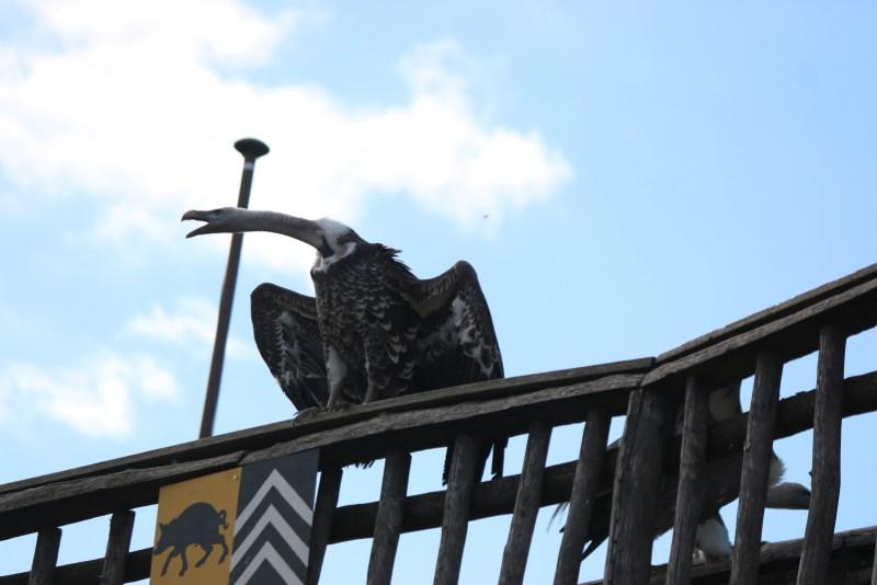 vulture sitting on railing