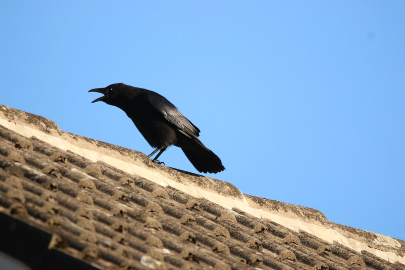 Crow, cawing