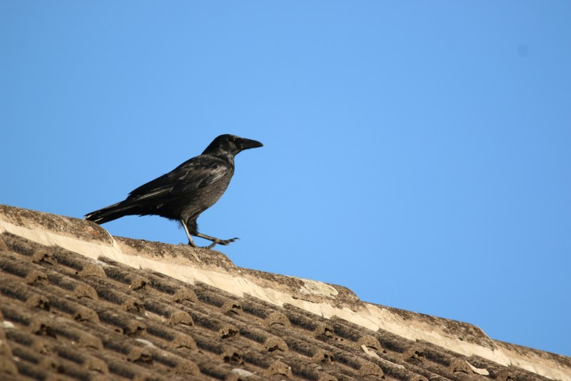 Crow on roof