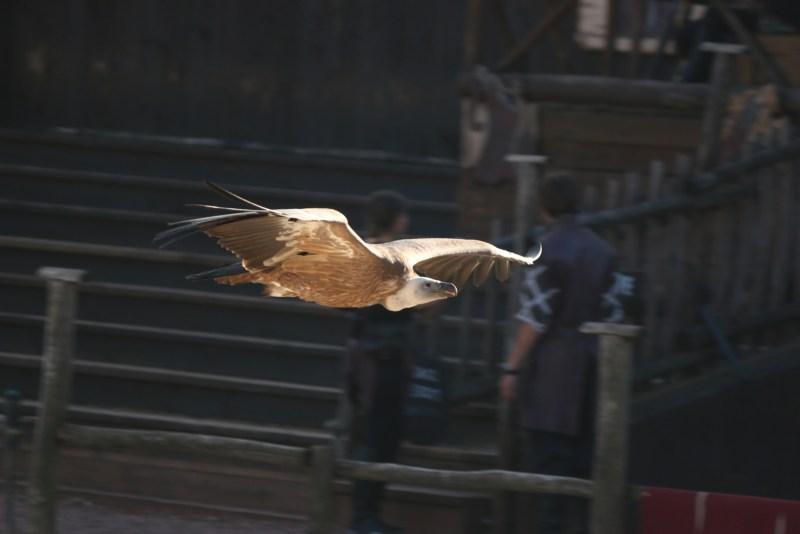 Vulture, flying