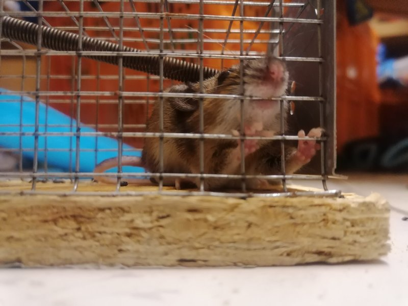 A small mouse biting the wire of a life catch mouse trap