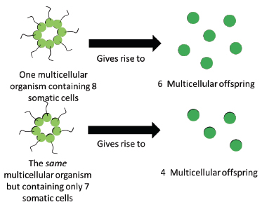 Fig. 1 from Bourrat 2015. Toy illustration of the formal causal relation between the presence/absence of one somatic cell in a multicellular organism of the genus Volvox and the number of multicellular offspring produced.