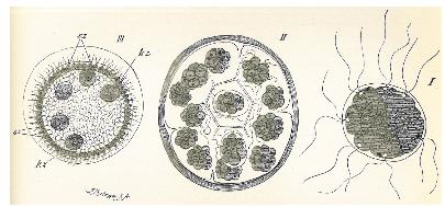 Weismann Fig. 62