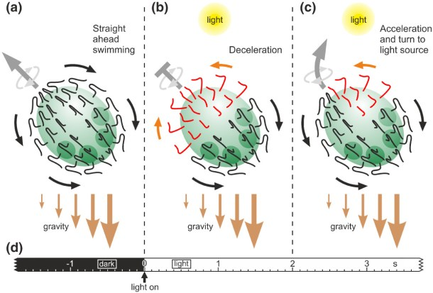 Fig. 8 from Ueki et al. 2010. Schematic representation of the phototactic movements in V. rousseletii. (a) Straight-ahead swimming in the dark. (b) A sudden dark-light switch causes the flagellar beating to reverse in the anterior hemisphere and the deceleration of the spheroid's forward movement (photophobic response). (c) After approximately 2 seconds, only cells on the illuminated side of the anterior hemisphere of the rotating spheroid show the reversed flagellar beating direction, resulting in an acceleration of the spheroid's forward movement and turning toward the light source. Gravity assists the phototactic movements because it pulls more on the posterior hemisphere due to an anisotropic mass distribution caused by the denser daughter spheroids within the posterior hemisphere and probably also by the closer spacing of the somatic cells in the posterior hemisphere. (d) Time scale.