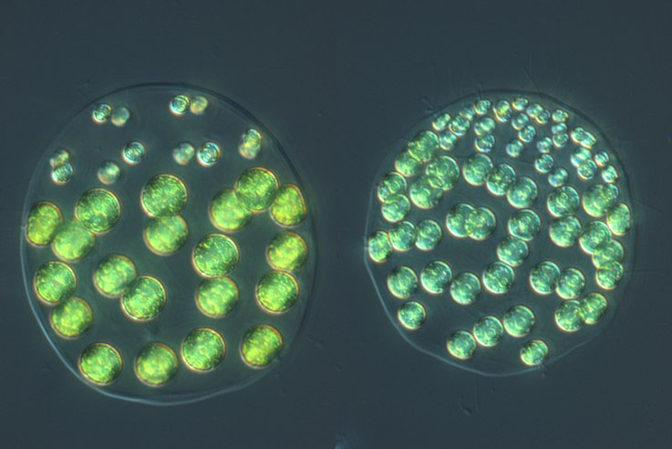 32- and 64-celled colonies of Pleodorina starrii.