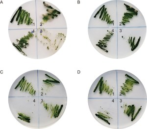 Figure 1 from Wang et al. 2016.  Effects of bactericide/fungicide cocktails on the removal of microbial contaminants from Chlamydomonas reinhardtii cultures.