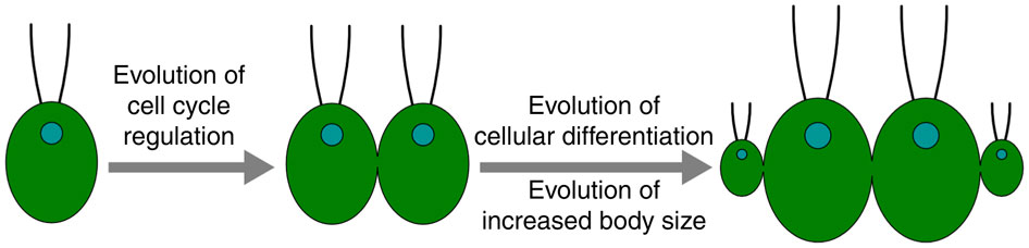 Figure 6 from Hanschen et al. 2016. Multicellularity hinges on the evolution of cell cycle regulation in a multicellular context with subsequent evolution of cellular differentiation (here, cell size-based) and increased body size.