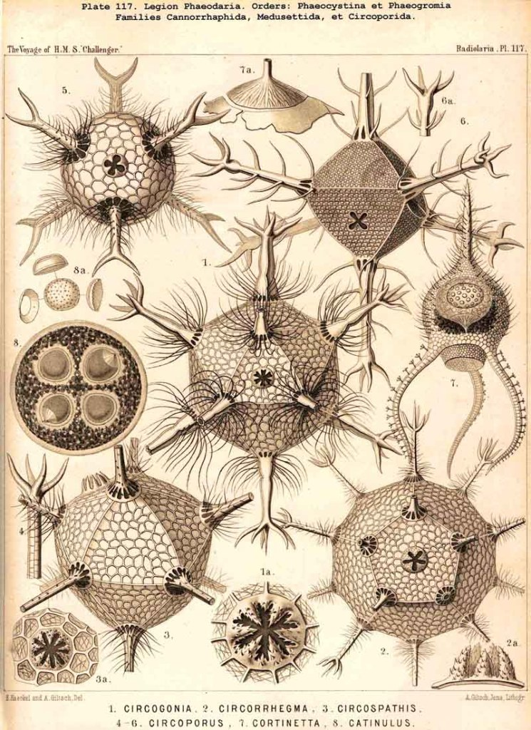 Haeckel1887plate117