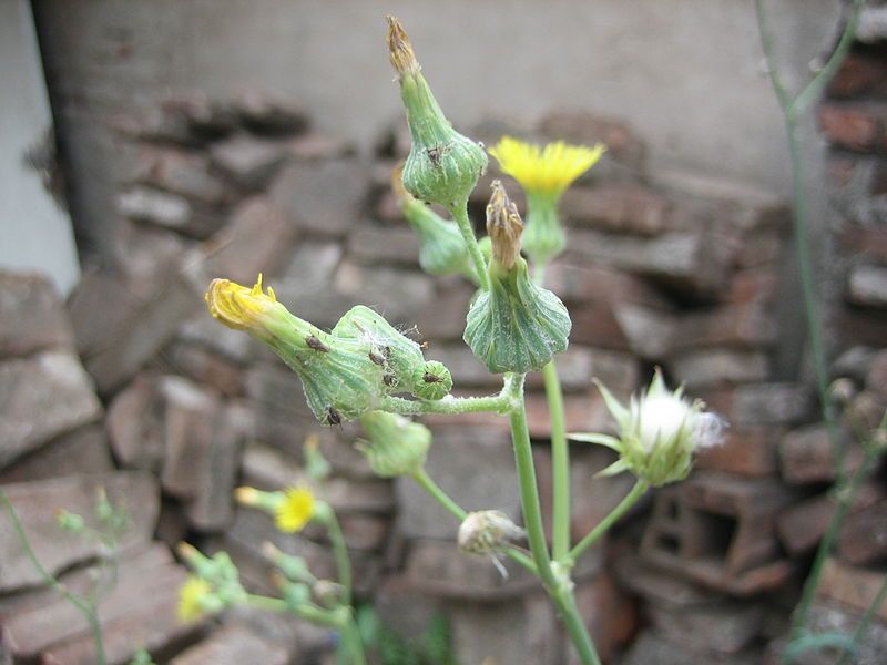 Aphid on dandelion by Amoceann. Public domain image from Wikimedia Commons.